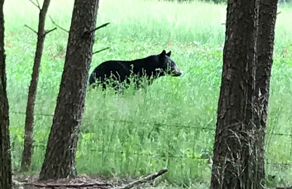 black_bear encounter_while_turkey_hunting
